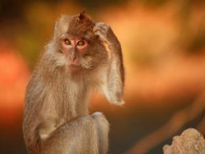 Long-Tailed Macaque by Andrew Bain