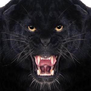 Black Leopard by Andrew Blue