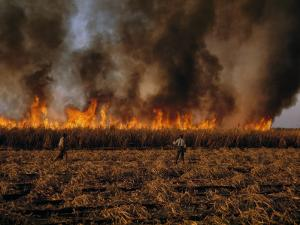 Field Hands Watch Fire Burn Through Sugar Cane Field Ready to Harvest by Andrew Brown