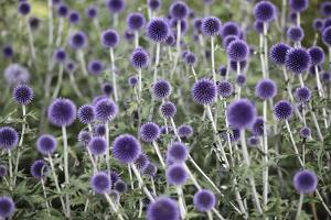 Globe Thistle Flowers by Andrew Clelland