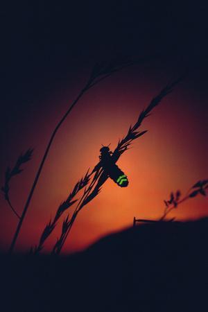 Glow Worm Beetle Female Glowing At Sunset To Attract Mate, Devon England (Lampyris Noctiluca)