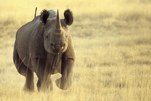 Black Rhinoceros (Diceros bicornis) adult male, charging, Etosha , Namibia by Andrew Forsyth