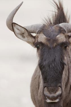 Blue Wildebeest (Connochaetus taurinus) adult, close-up of head, Kalahari, South Africa by Andrew Forsyth