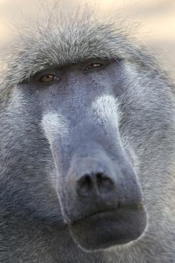 Chacma Baboon (Papio cynocephalus ursinus) adult, close-up of head, Kruger , Mpumalanga by Andrew Forsyth