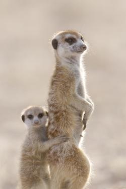 Meerkat (Suricata suricatta) adult, alert sentinel, with baby, Kalahari by Andrew Forsyth