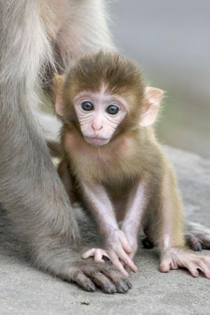 Rhesus Macaque (Macaca mulatta) baby, sitting beside mother, Jaipur City, Rajasthan by Andrew Forsyth