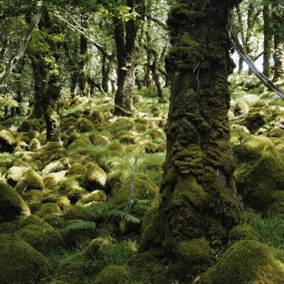 Derrycunnihy Oak Woods, County Kerry, Munster, Republic of Ireland, Europe