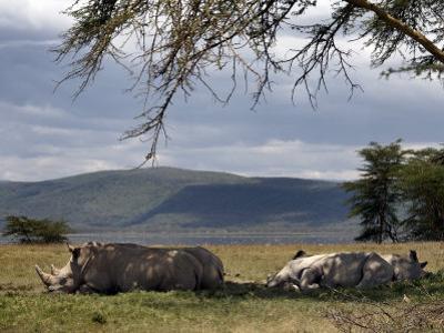 Rhinos Rest under the Shade of a Tree in Lake Nakuru National Park, Kenya, East Africa, Africa