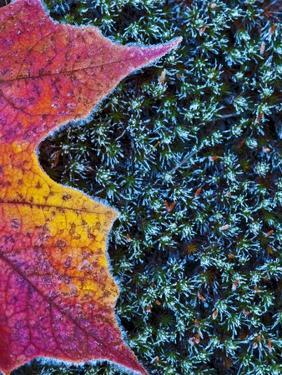 Frost on Autumn sugar maple leaf and haircap moss in Ontario's Muskoka Region. by Andrew McLachlan