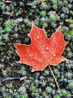 Frost on Autumn Sugar Maple Leaf and Haircap Moss, Muskoka, Ontario, Canada. by Andrew McLachlan