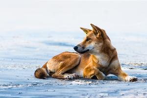 Wild dingo on Seventy Five Mile Beach, Fraser Island, Queensland, Australia, Pacific by Andrew Michael