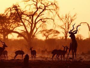 Adult Male Kudu with Impala at Pump Pan Waterhole, Chobe National Park, Botswana by Andrew Parkinson