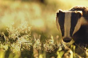 Badger (Meles Meles) Sub-Adult Backlit in Evening Light, Derbyshire, UK by Andrew Parkinson