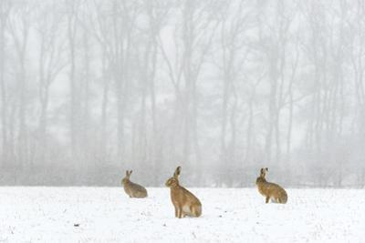 Brown Hare (Lepus Europaeus) Three Adults In Snow Covered Field During A Snow Fall, Derbyshire, UK