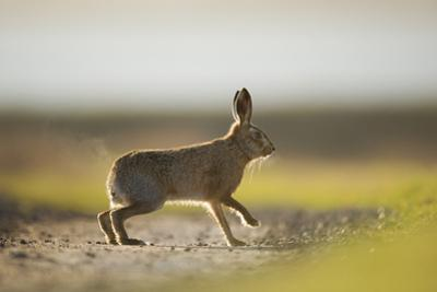 European Brown Hare (Lepus Europaeus) Male Pursuing a Female, Elmley Marshes, Kent, UK, February
