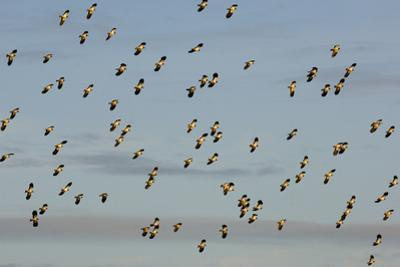 Flock of Lapwing (Vanellus Vanellus) in Flight, Turning Together in Evening Light, Norfolk, UK
