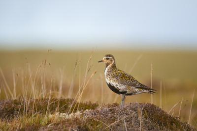 Golden Plover (Pluvialis Apricaria) in Breeding Plumage, Shetland Islands, Scotland, UK, May