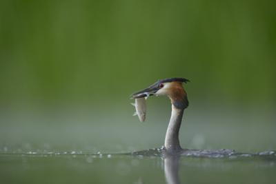Great Crested Grebe (Podiceps Cristatus) Adult with Fish Prey, Derbyshire, UK, June