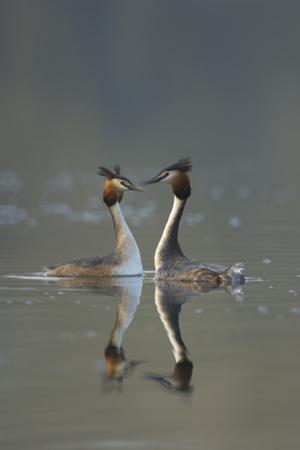 Great Crested Grebe (Podiceps Cristatus) Pair During Courtship Ritual, Derbyshire, UK, March