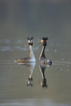 Great Crested Grebe (Podiceps Cristatus) Pair of Adults During Courtship Ritual, Derbyshire, UK