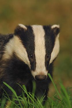 Portrait of an Adult Badger (Meles Meles), Derbyshire, UK by Andrew Parkinson