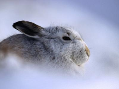 Profile of Adult Mountain Hare in Winter Coat, Monadhliath, Strathspey, United Kingdom