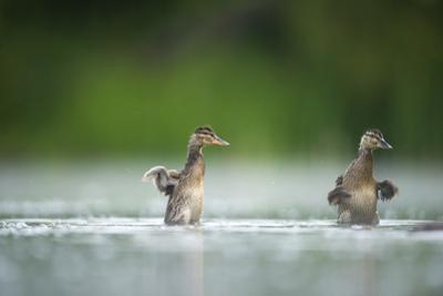Two Mallard (Anas Platyrhynchos) Ducklings Standing Up to Shake Wings after Bathing, Derbyshire, UK