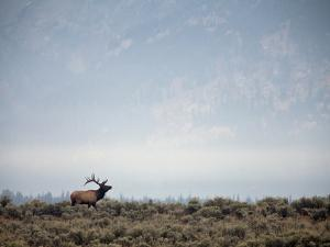 Large Bull Elk Bugling During the Rut in Grand Teton National Park by Andrew R. Slaton