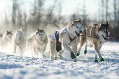 Dog Sled Team by Andrew Reid