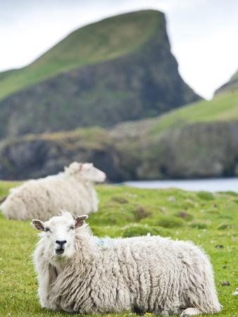 Domestic Sheep, Fair Isle, Shetland Islands, Scotland, United Kingdom, Europe