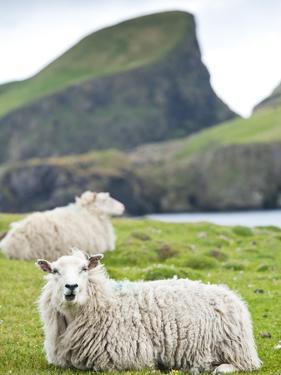 Domestic Sheep, Fair Isle, Shetland Islands, Scotland, United Kingdom, Europe by Andrew Stewart
