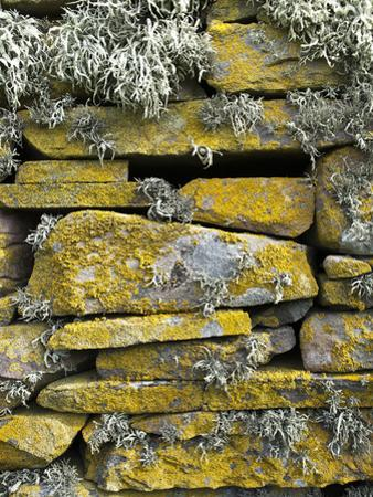 Lichen on Rocks, Broch of Mousa, Mousa Island, Shetland Island, Scotland, United Kingdom, Europe