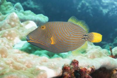 Orange Lined Triggerfish (Balistapus Undulatus), Southern Thailand, Andaman Sea, Indian Ocean, Asia