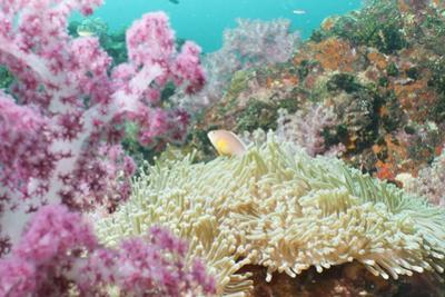 Pink Dendronephthya, Soft Coral, and Anemonefish, Southern Thailand, Andaman Sea, Indian Ocean