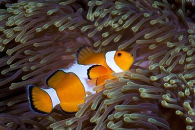 Western Clown Anemonefish and Sea Anemone (Heteractis Magnifica), Southern Thailand