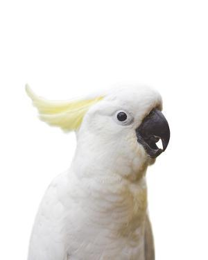 Cockatoo Friend by Andrew Watson