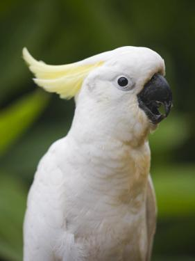 Queensland, Brisbane, Sulphur-Crested Cockatoo, Australia by Andrew Watson