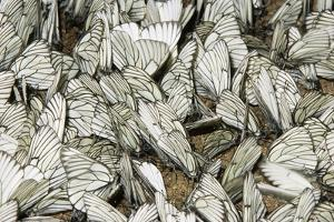 Black-Veined White Butterflies by Andrey Zvoznikov