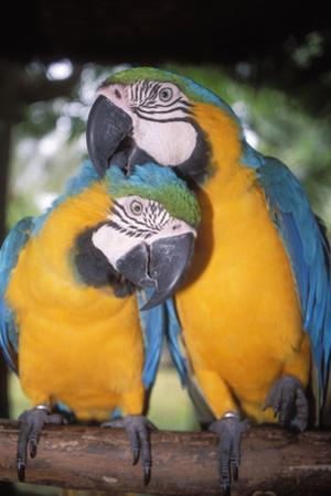 Blue and Yellow Macaws by Andrey Zvoznikov