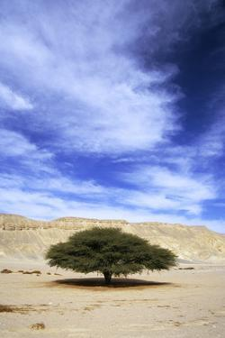 Egypt Acacia Tree in Arabian Desert by Andrey Zvoznikov