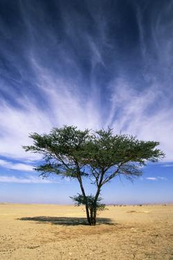 Egypt Typical Midday Scene with Acacia Trees by Andrey Zvoznikov