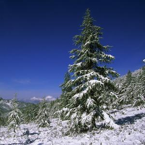 Fir Trees and Spruces after a Snowfall by Andrey Zvoznikov