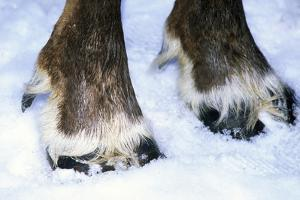 Hoofs of a Domestic Reindeer by Andrey Zvoznikov