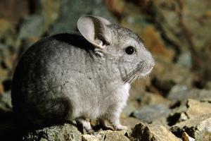 Long-Tailed Chinchilla Young by Andrey Zvoznikov
