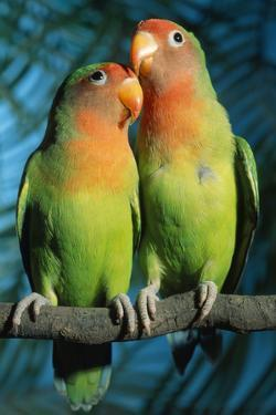 Peach-Faced Lovebirds Hybrid by Andrey Zvoznikov