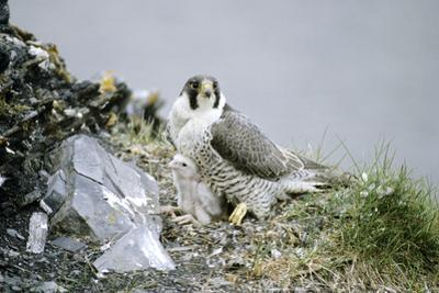 Peregrine Falcon Adult Warms a Chick