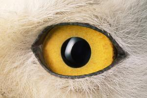 Snowy Owl Close-Up of Eye by Andrey Zvoznikov
