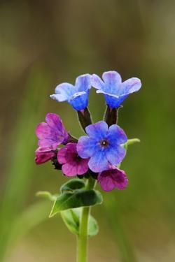 Unspotted Lungwort Flowering Wild Plant by Andrey Zvoznikov
