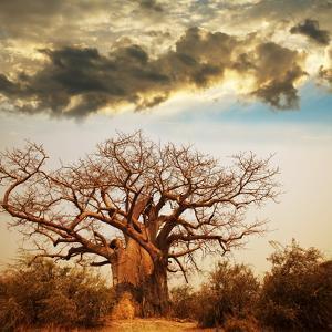 Baobab Tree by Andrushko Galyna