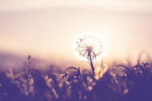 Dandelion by Andrushko Galyna